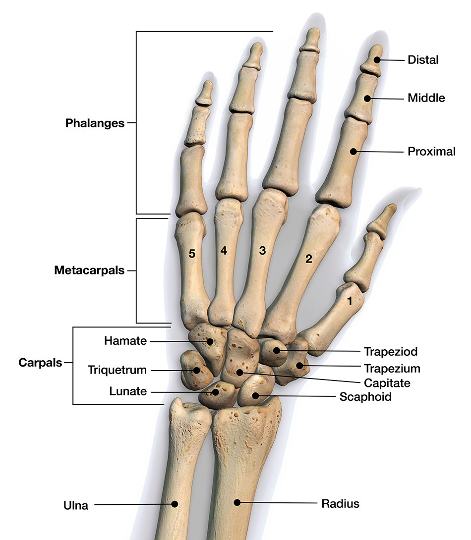 Bones of the Hand and Wrist