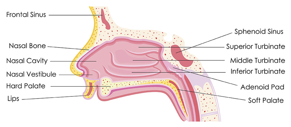 Nose Sinus Diagram on Teeth And Sinus Pain Diagram