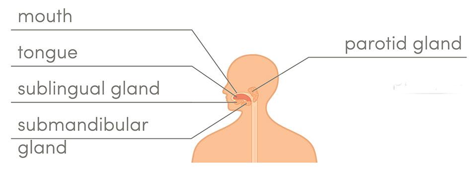 Salivary And Parotid Gland Tumors