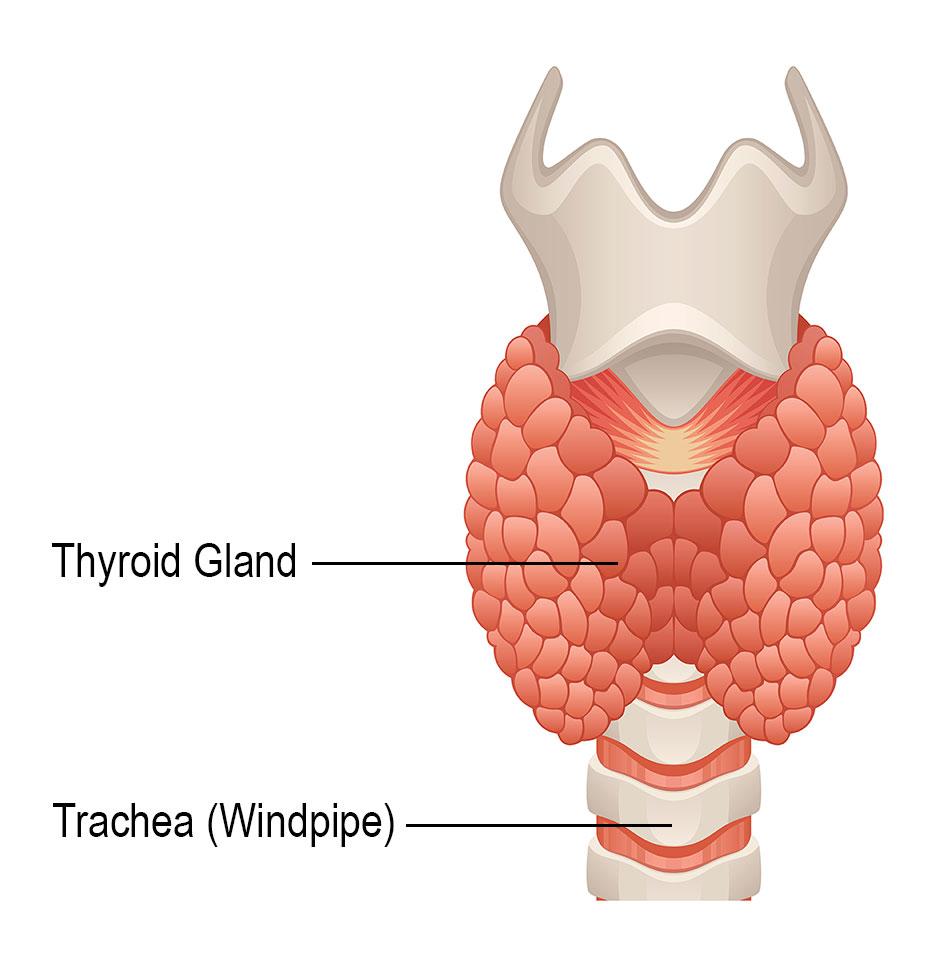 thyroid cancer treatmentthyroid gland diagram